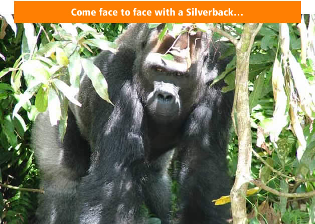 Come face to face with a Silverback…